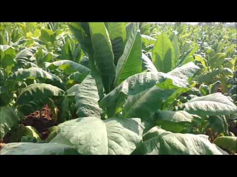 tobacco cultivation in india | tobacco plant, TimesNow BreakingNews, TNBN Tv Live