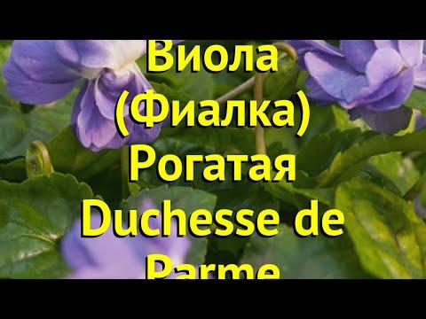 Виола рогатая. Краткий обзор, описание характеристик viola rubin Duchesse de Parme