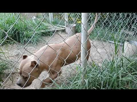 Keeper Pups Update Greko Bully Kamp G Line Abkc Pitts Blue Nose Red Nose Pitbull Pitts