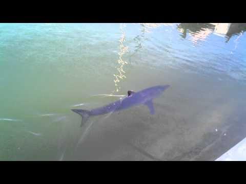 Mako Shark inside Dana Point Harbor May 23 2011 A dock