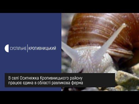 UA: Кропивницький: В селі Оситняжка Кропивницького району працює єдина в області равликова ферма