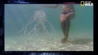 La méduse-boîte | L