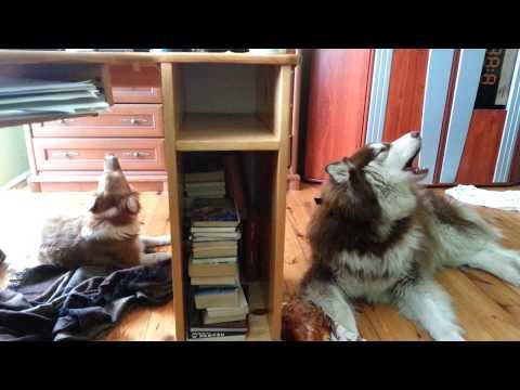 Dogs sings, Romeo and Juliet (Michał and Tamara) ;)