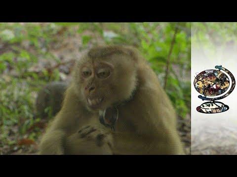 Thailand's Monkey University