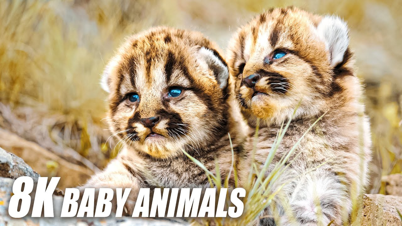 Baby Animals Collection in 8K TV HDR 60FS ULTRA HD