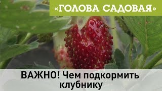 Голова садовая - ВАЖНО! Чем подкормить клубнику