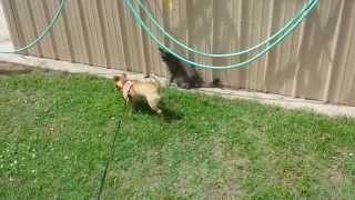Min Pin/chihuahua Mix Play Fights With Cat
