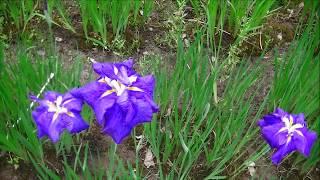 ハナショウブ 額紫陽花 ドクダミの花 蛍袋 ツツジの花