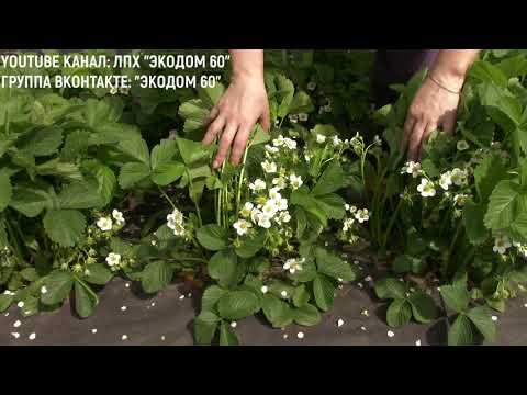 Вопрос: Где найти таблицу урожайности клубники по сортам в 5 бальной системе?