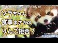 ソラちゃん食事 まさかのりんご拒否? 市川市動植物園(レッサーパンダ)Red panda Ichikawa City Zoo