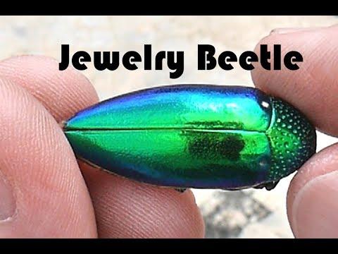 Jewelry Beetle - Sternocera aequisignata
