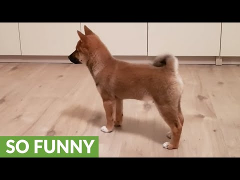 Shiba Inu puppy totally loses it when owner comes home