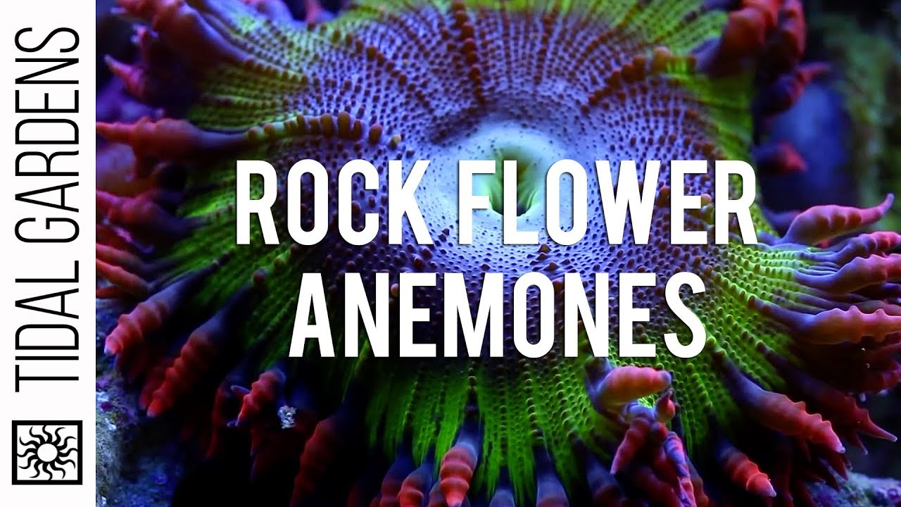 Ananomie Videos rock flower anemones
