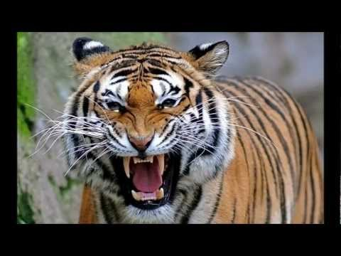 North Bengal Tiger - The 2nd Largest And Strongest Tiger In The World.