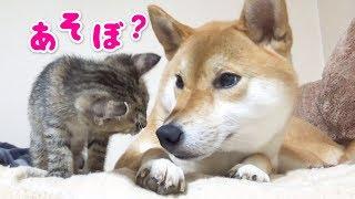 まるで親子みたい♡子猫の距離が近づき幸せそうにくつろぐ柴犬---Kittens and Shiba Inu Riko is like a parent-child like---