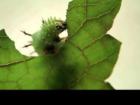 Kamehameha butterfly caterpillar