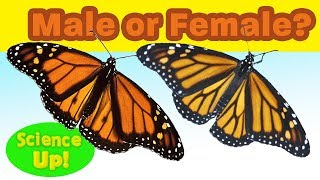 """Monarch Q & A: How to tell a male from a female monarch butterfly (or """"boy"""" from """"girl"""")"""