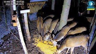 Głodne łanie 🦌 w karmisku dla dzikich zwierząt w lesie
