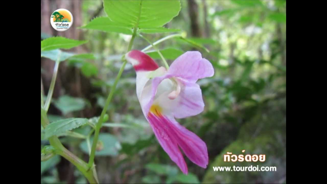 Rare Parrot Flower of Thailand Youtube