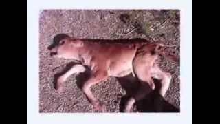 mutilations-animals
