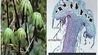 Bryophyta Marchantia Life Cycle