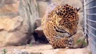 jaguar Ягуар — самая крупная кошка Америки