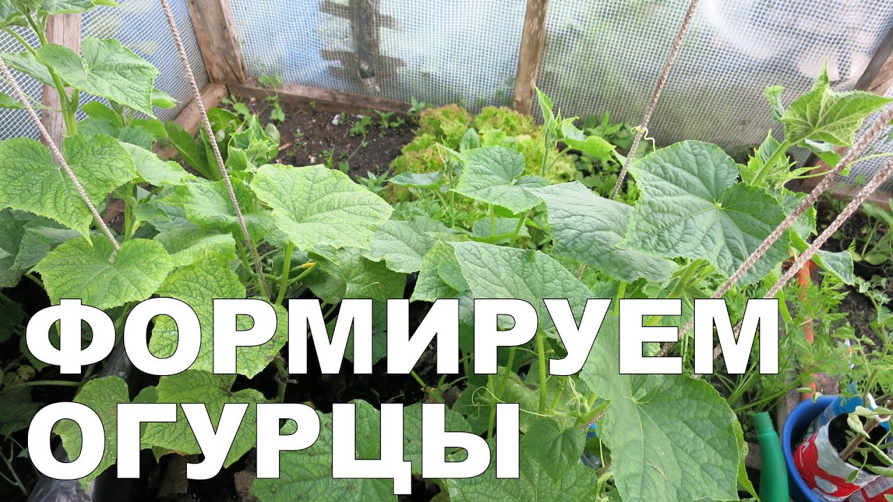 Огурцы Сибирская гирлянда — описание и тонкости посадки гибрида