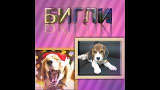 Бигль-Всё о породе собаки   Собака породы Бигль
