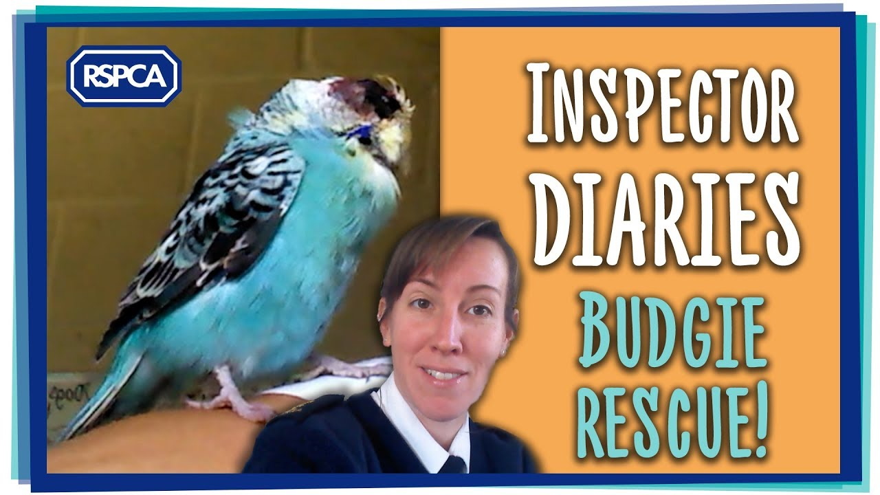 Inspector diaries - Rachel Smith rescues a poorly budgie!