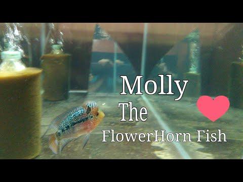 How I Take Care My Flowerhorn Fish