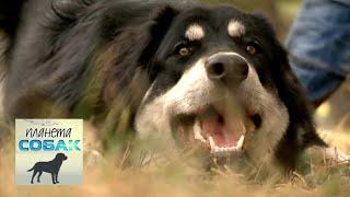 Бурят-монгольский волкодав. Планета собак 🌏 Моя Планета