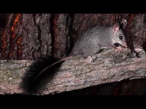 ABC Radio Interview - Crusoe College and the Brush Tailed Phascogale