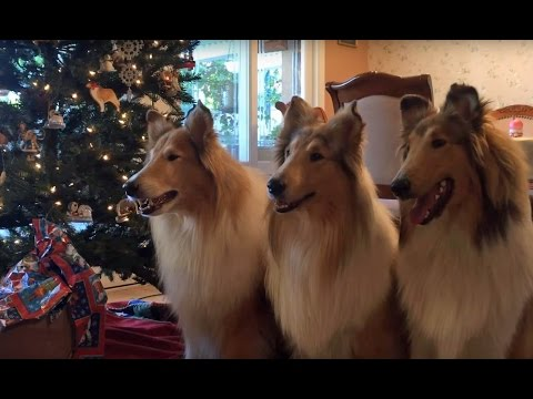 The Collies of Heather Circle Christmas Video for 2015