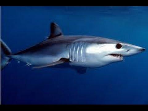 Акула.Shark.