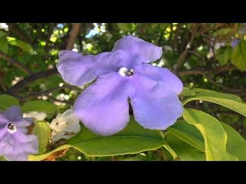 Jazmín de Paraguay: Brunfelsia pauciflora (www.riomoros.com)