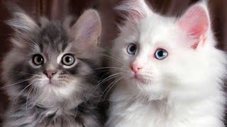 SO MANY CUTE KITTENS VIDEOS COMPILATION   CATS DAILY LIFE   TWINKLE LITTLE MEOW