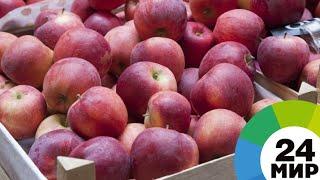 Сладкие, кожица нежная: в Беларуси собрали отменный урожай яблок - МИР 24