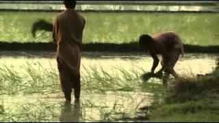 Planting in Paddy Fields in Pakistan Rice Crop