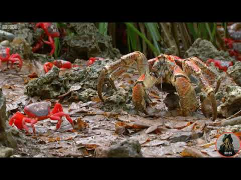 Red crab vs Coconut crab.