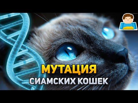Вопрос: Почему сиамские кошки царапали стены посольства Голландии в Москве?