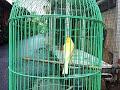 Kicau Burung Kenari Lokal Suara Jernih Deres Ngerol Cocok Buat Pancingan Kenari Muda  Mp3 - Mp4 Download