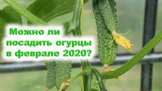 А можно ли посадить огурцы в феврале 2020 года?  Можно, если  созданы соответствующие условия.