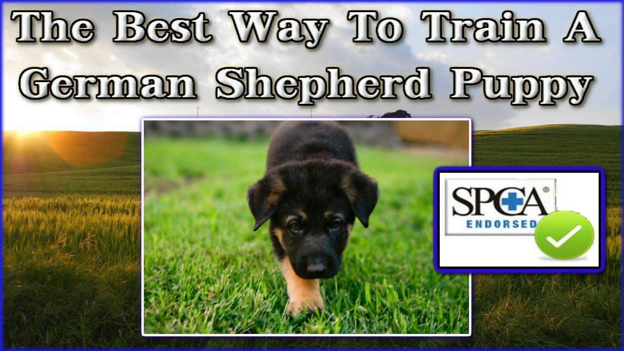 German shepherd puppies spca