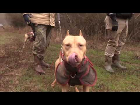 hog-dog-hunting-in-georgia