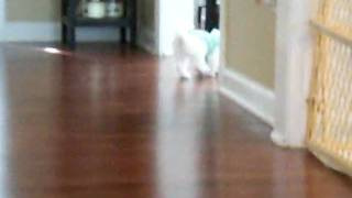 Ollie And Ivy Playing And Biting  (maltese Puppy)