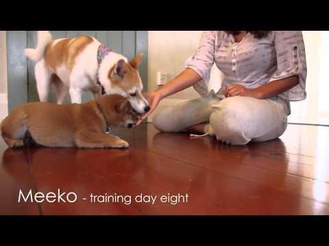 Shiba Puppy Training - Day 8