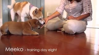 Shiba Puppy Training - Day 8