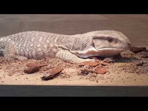 Introducing The New Pet Reptile Plus Feeding LIVE