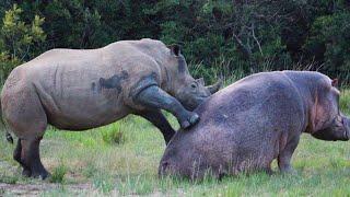 Hipopótamo vs Rinoceronte | ¿Quién Ganaría? | EPIC VERSUS