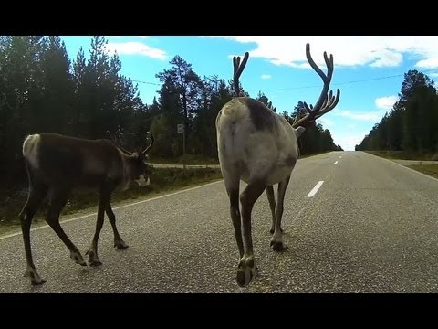 Reindeers on the Road - Finland Lapland Enontekiö